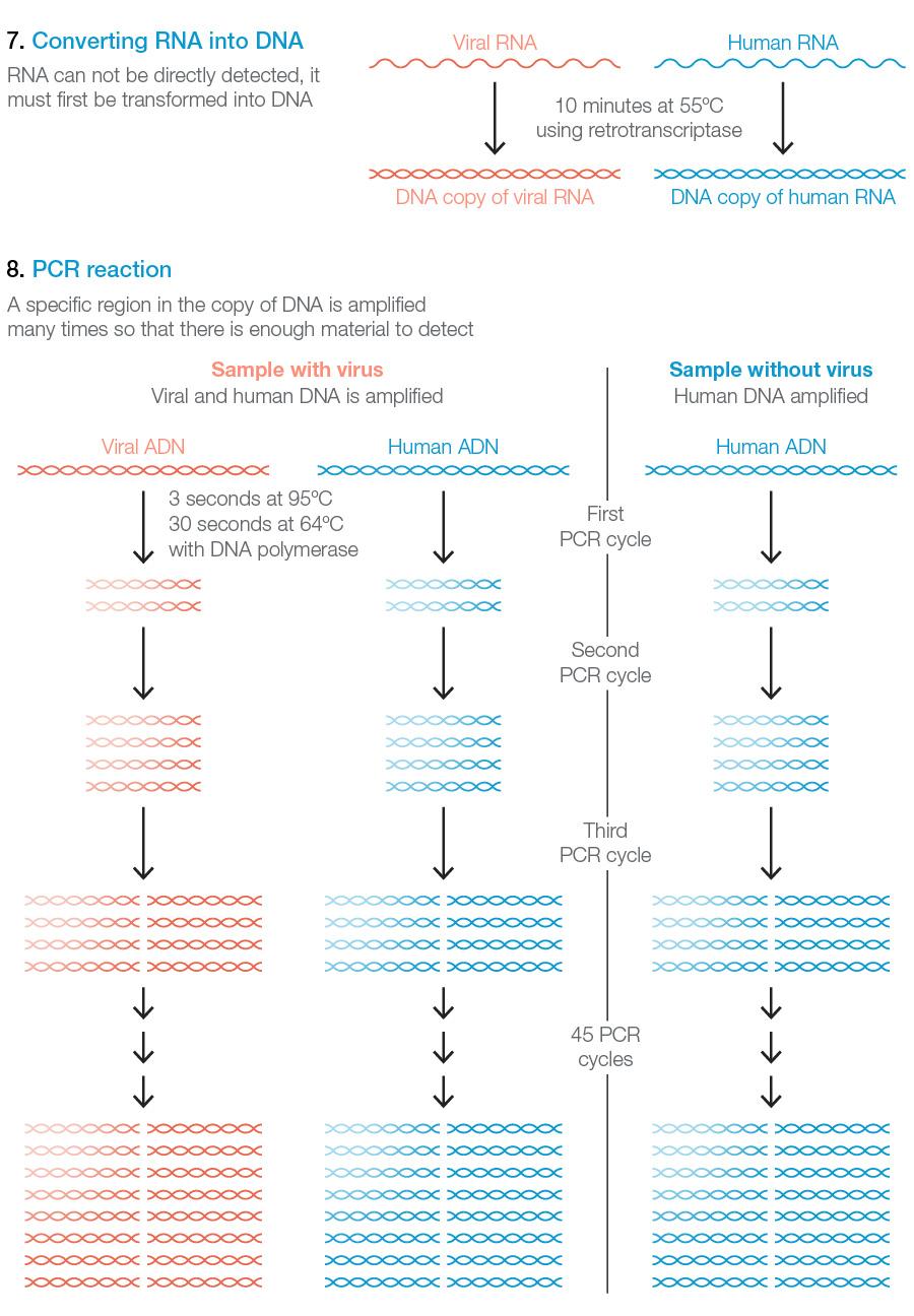 COnversión del ARN en ADN y PCR para amplificar y detectar la presencia del coronavirus