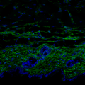 Skin of a young mouse. The image shows a cross section of the skin with the fibroblasts indicated in green. The thickness of the dermis and the density of fibroblasts is much greater in young skin than in aged skin– cell nuclei, in blue (M Salzer, IRB Barcelona)