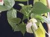 Phaseolus_Plant
